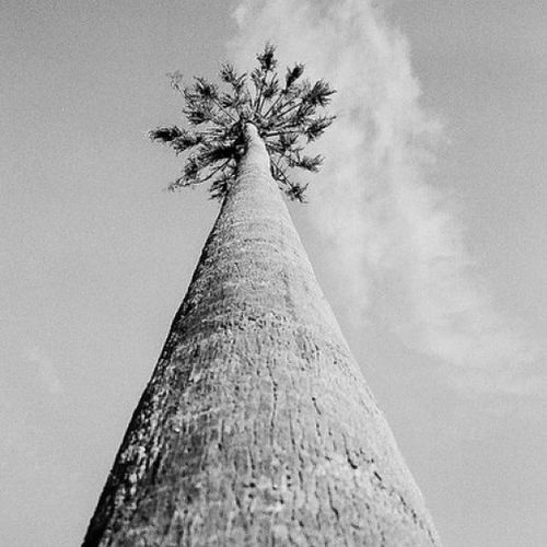 Olympusxa Olympus Trix Film filmphotography filmneverdies 35mm palm perspective