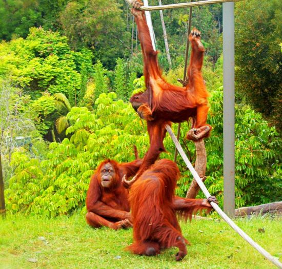 Orangutans at play Relaxing Warm And Friendly Happiness ♡ Nature's Diversities Primates