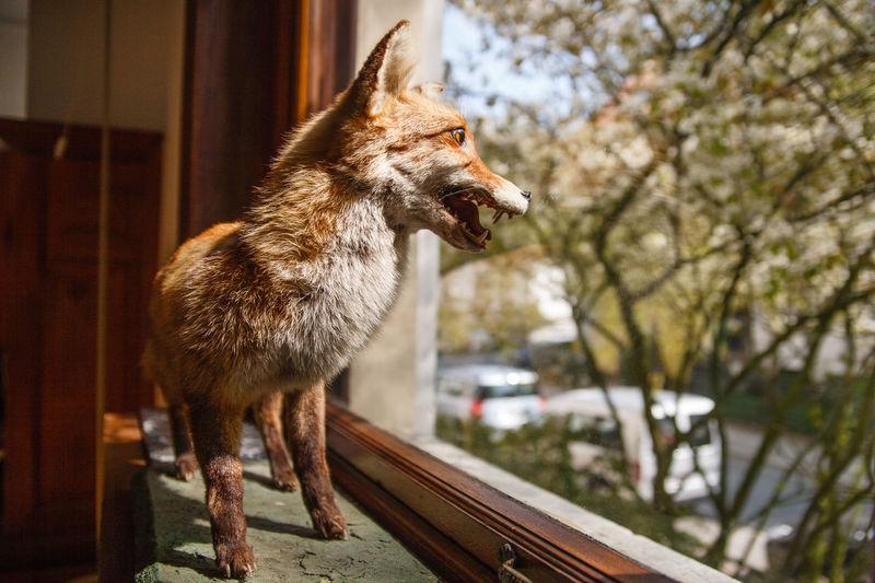 Fox taxidermy at window sill