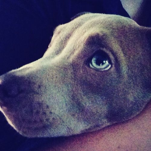 Red Nose Pit Blue Nose Pitbull Adorable Blue Eyes