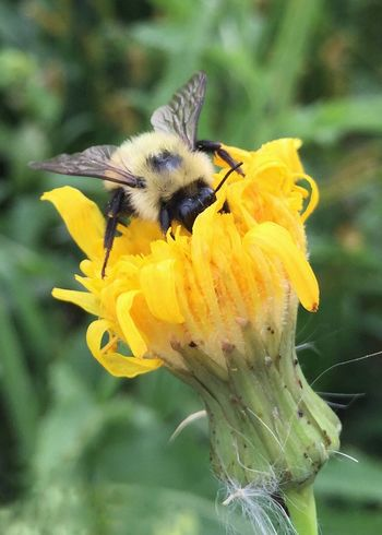Bumblebee foraging on sow thistle. Bumblebee Sow Thistle Flower Yellow Animal Themes One Animal Animals In The Wild Beauty In Nature Nature Insect Focus On Foreground Petal Forage Pollination Pollinators Animal Wildlife Flower Head Close-up No People Day Outdoors Plant Worker