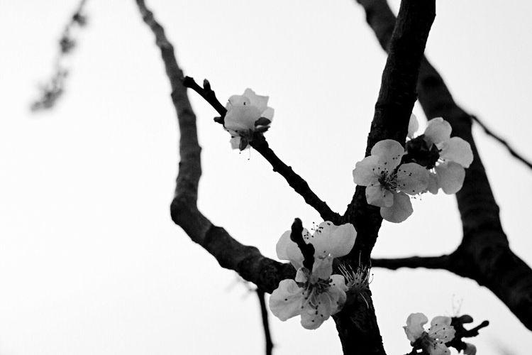 Cherry Blossoms Flowers Flower Fuji Fujifilm Fujifilm_xseries FUJIFILM X-T10 X-T10 Ml50mm Yashica Lens B/W Photography Monochrome