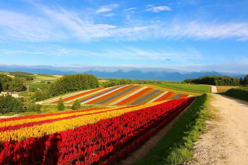 Flowers Beauty In Nature Agriculture Flower Landscape Rural Scene Growth Field Tranquil Scene Red Beauty In Nature Sky High Angle View Tranquility Blue Freshness Nature Farm Scenics Cloud Outdoors お花畑
