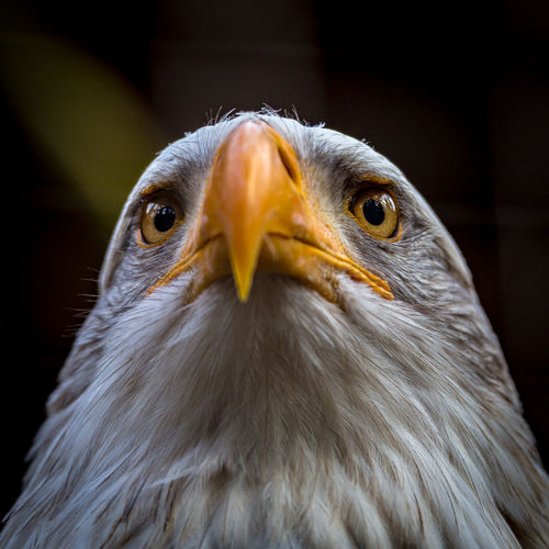 Animal Eye Animal Head  Animal Themes Beak Bird Bird Of Prey Eagle Nature One Animal Portrait