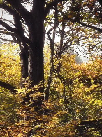 ... Golden Trees ... Tree Nature No People Yellow Beauty In Nature Growth Low Angle View Outdoors Day Wales Autumn Fall Leaves Trees Park Branches Hazy  деревья осень листья листья желтые