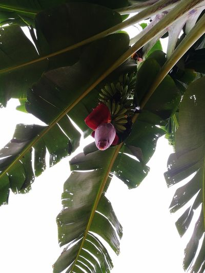 Leaf Growth Tree Fruit Day Nature Agriculture Outdoors Freshness Branch No People Food Beauty In Nature Close-up Sky Banana Tree Banana Leaf Banana Fruit Banana Flower