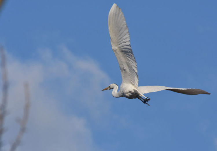Low Angle View Of Egret Flying Against Sky
