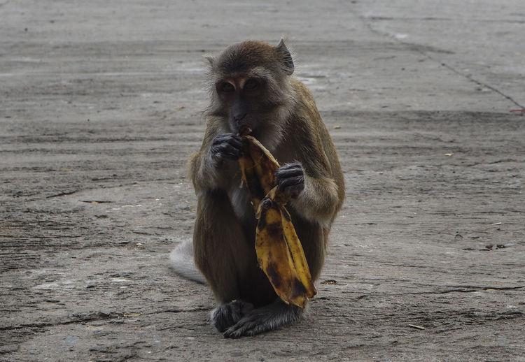 Monkey Eating Banana While Sitting On Street