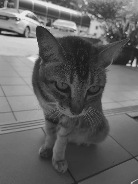 Domestic Cat Pets Domestic Animals Feline Animal Themes One Animal Mammal Street No People Indoors  Day Close-up Angry Angrycat