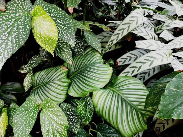 Tropical Calathea Leaf Plant Part Growth Plant Green Color Beauty In Nature Day Nature No People Backgrounds Full Frame Leaves Botany Tranquility Sunlight Tree