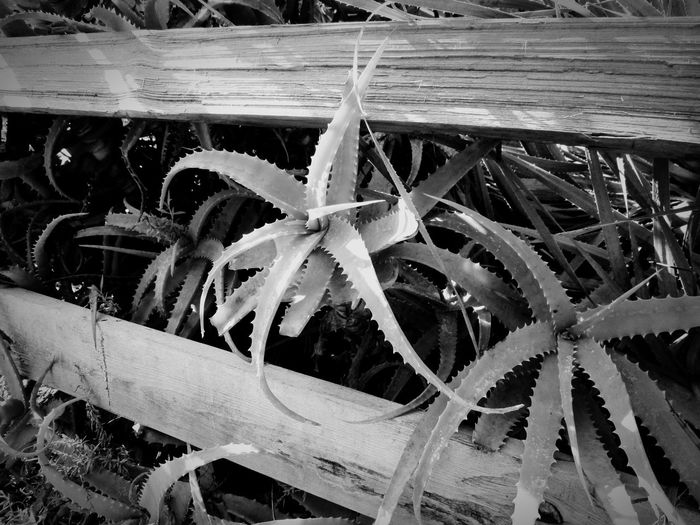 Reaching Succulent Black And White Photography Growth Plant No People Nature Day Outdoors Close-up