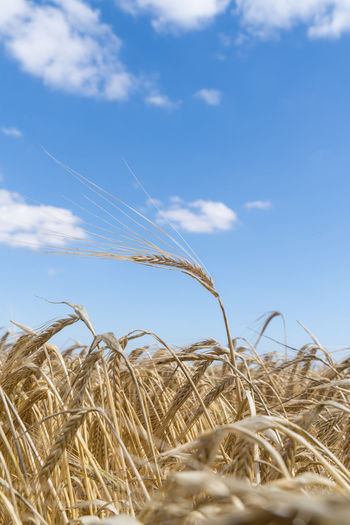 Field of barley on summer day, harvesting period season, close up of crops with blue sky and clouds