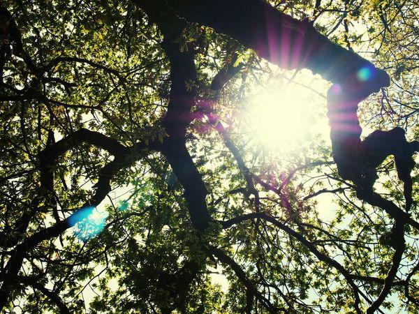 Oak Tree Oak Leaves Oak Wood Oak Foliage Trees Sessile Oak Tree Branches Oak Leaf Broadleaf Nature Sun Sunlight Ireland The Essence Of Summer