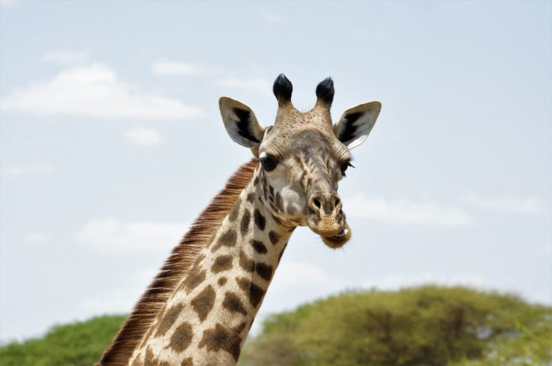 Animal Themes Animal Wildlife Animals In The Wild Close-up Day EyeEmNewHere Giraffe Looking At Camera Mammal Nature No People One Animal Outdoors Portrait Safari Animals Sky