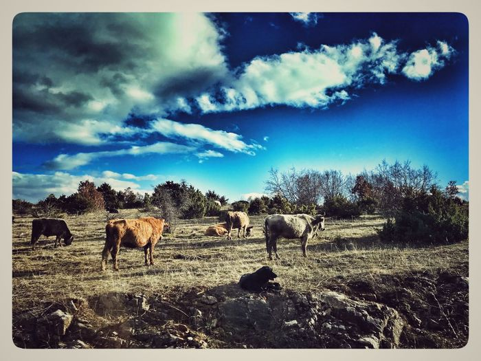 Postcard from Macedonia EyeEm Selects EyeEm Nature Lover Eyem Best Shots Nature_collection Auto Post Production Filter Animal Themes Sky Livestock Domestic Animals Cattle Cow Field Day Outdoors Grazing Cloud - Sky Rural Scene
