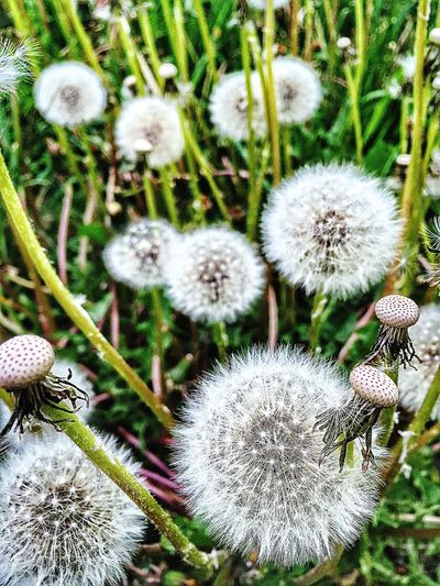Dandelion Flowers,Plants & Garden Garden Photography Flowers In My Garden IPhoneography Nature Showcase May Flowers, Nature And Beauty Green Gorgeous Summertime Spring White Flower Collection Beuty Of Nature White Flower Flowerstagram Flower Dandelion Flower Photography Spring 2016 Flowers Flower