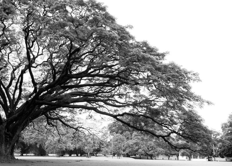 Magnificent Old Big Tree Art Photgraphy Bare Tree Beauty In Nature Black And White Black And White Photography Branch Bw Bw Photography Clear Sky Day Growth Low Angle View Nature No People Outdoors Scenics Sky Tranquility Tree Tree Trunk