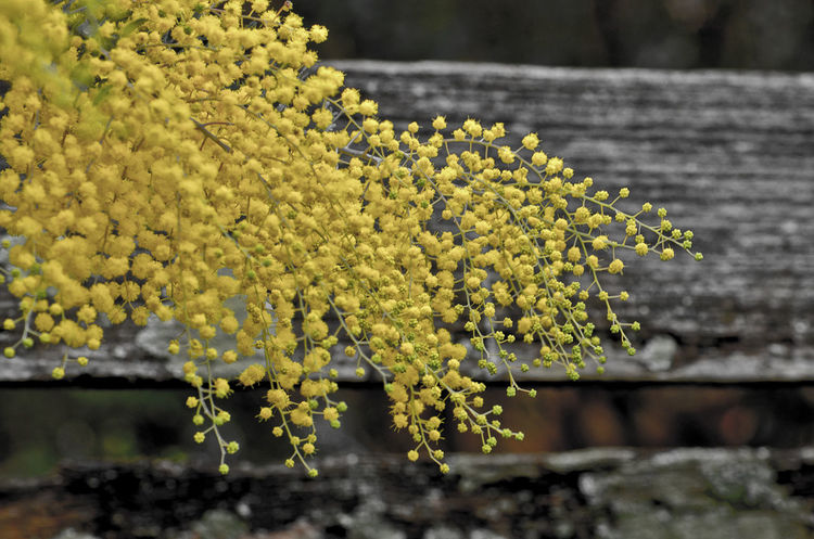 Yellow Wattle flowers Blossoms  Close Up Fence Floral Nature Outdoors Wattle Wattle Flower Wattle Tree Yellow