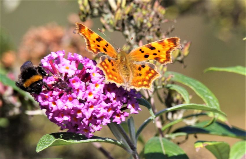 Butterfly and bee Bee Butterfly Summer Lilac Sommerflieder Germany Lilac Lilac Flower Flower Flowering Plant Insect Invertebrate Animal Wildlife Animal Themes Animal Plant Beauty In Nature Animals In The Wild Fragility Vulnerability  One Animal Petal Butterfly - Insect Animal Wing Close-up Freshness Flower Head Growth