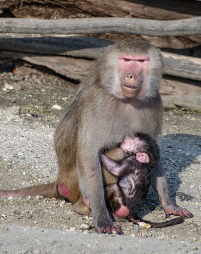 Primate Mammal Animal Wildlife Animals In The Wild Vertebrate Sitting Day Young Animal No People Group Of Animals Animal Family Togetherness Nature Outdoors Looking Away Care Baboon Monkey Zoo