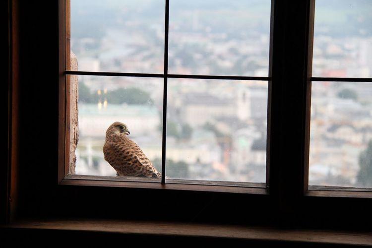 Falcon seen through window