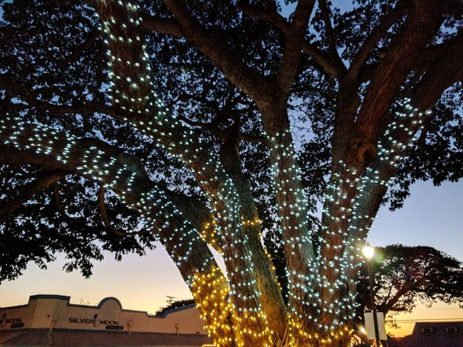 colored lights lend a festive air to the mall at dusk Tree Decorative Lights Eyeem Tree Taking Photos Playing Tourist Dusk North Shore Monkey Pod Tree My Island Sunset What I Saw Tree And Sky EyeEm Nature Lover EyeEm Gallery Popular Photos Beauty In Nature Eyem Gallery Outdoor Photography Trees And Sky Illuminated