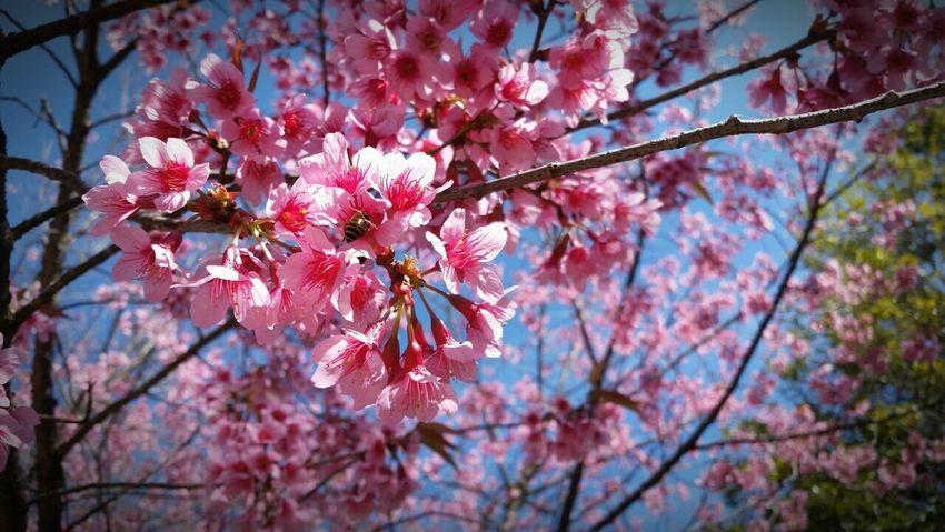 พี่เสือ ดอกพญาเสือโคร่ง ขุนวาง EyeEm Nature Lover Awesome_nature_shots Beautiful Nature Nature_collection Flowers, Nature And Beauty Thailand Nature ท่องเที่ยวไทย ไม่ไปไม่รู้ Flowers_collection Thailand_allshots Beautiful Flowers Pink Blooming Flower Porn Unseenthailand Unseen_Thailand