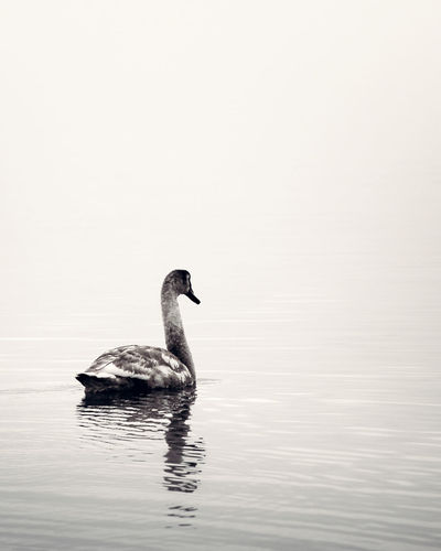 Animal Themes Animals In The Wild Beauty In Nature Bird Black And White Contrast Loneliness Lonely Nature Reflection Swan Swimming Tranquil Scene Water Waterfront Wildlife