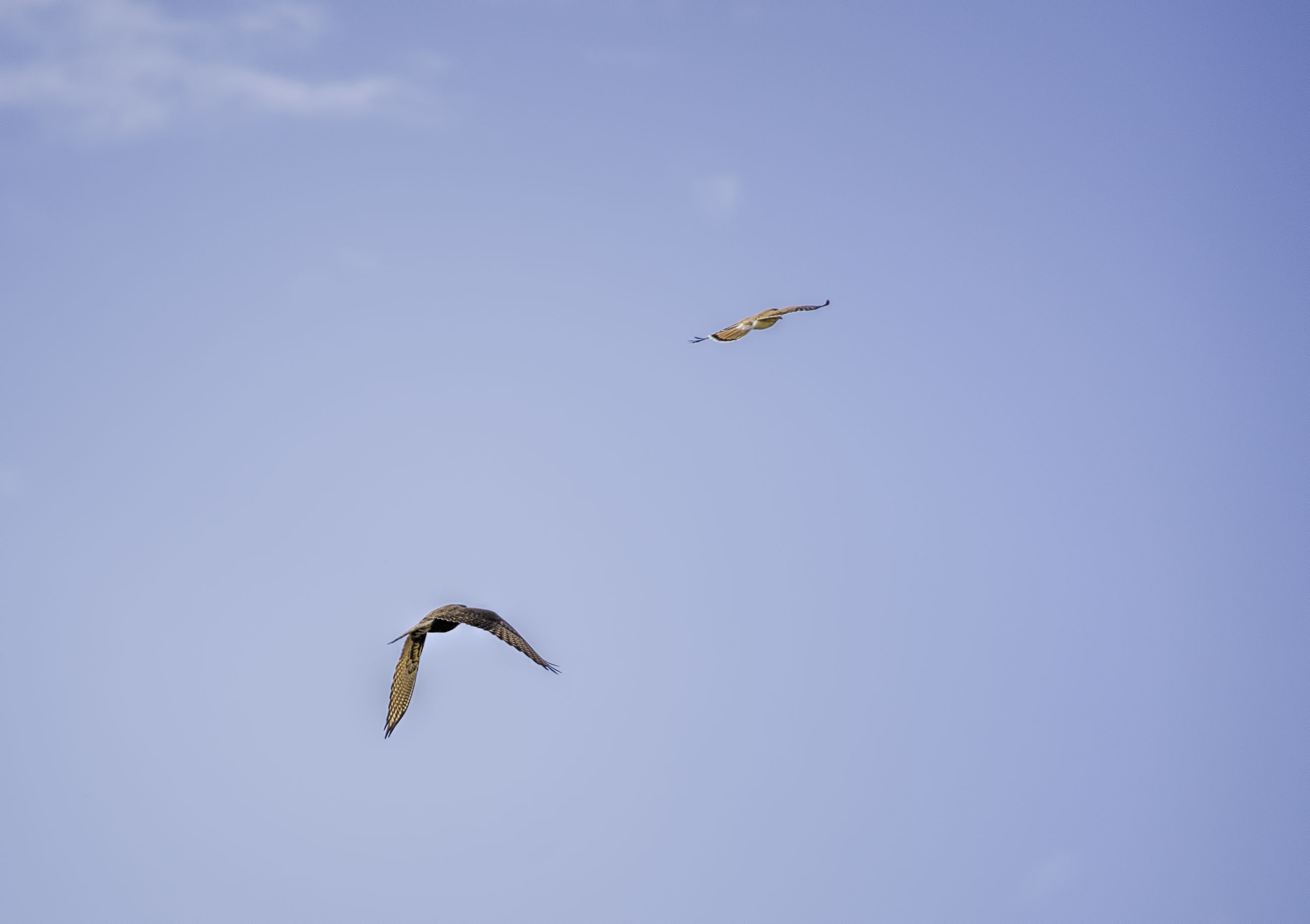 flying, animal themes, mid-air, animals in the wild, low angle view, wildlife, spread wings, bird, one animal, motion, on the move, sky, freedom, nature, clear sky, copy space, zoology, two animals, full length, blue