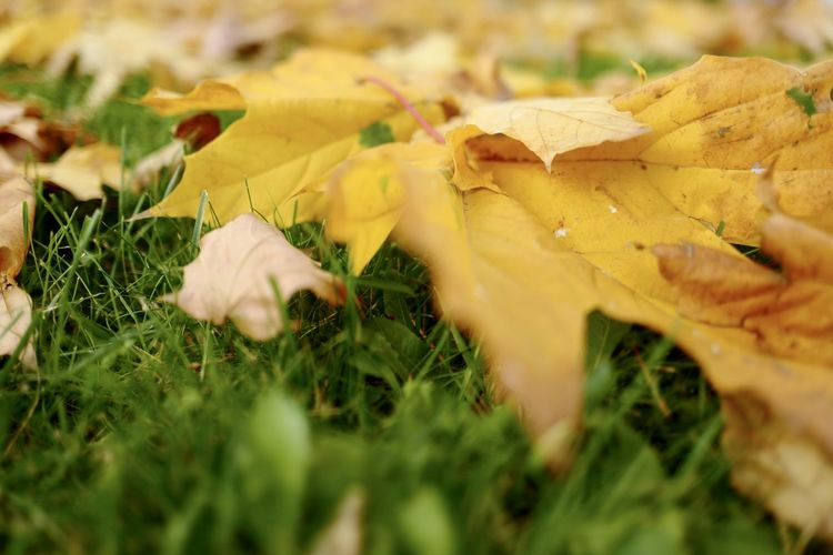 Close-up of yellow maple leaves on field