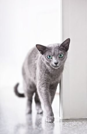 Alertness Animal Photography Animal Themes Cat Cats Domestic Animals Domestic Cat Feline Flooring Focus On Foreground Indoors  Katzen Kitten Looking At Camera Mammal Monotone No People One Animal Pets Portrait Russian Blue Cat Tabby Walking Whisker Zoology