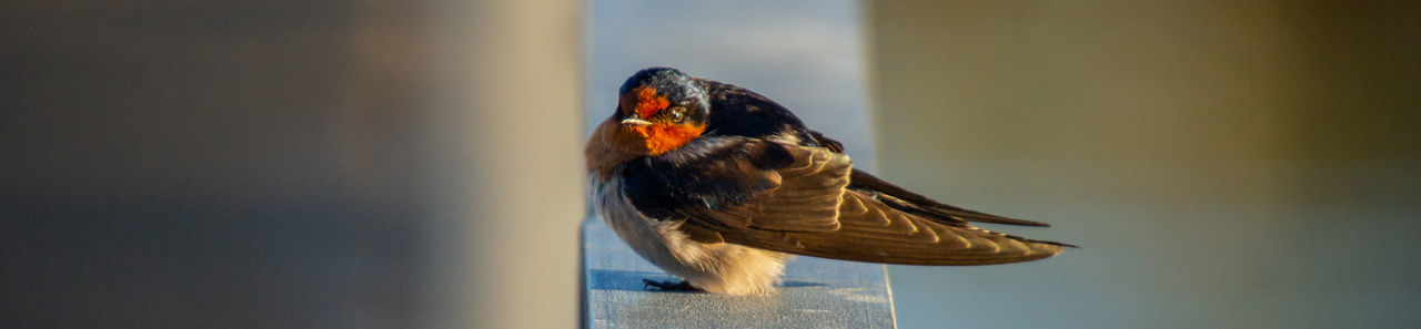 Welcome Swallow (Hirundo neoxenica) Beautiful Animals  Birding Feathers Hirundo Neoxenica Morning Light Animal Wildlife Animals In The Wild Beak Bird Day Lake Victoria Nature One Animal Perching Shepparton Sony Sunrise Water Welcome Swallow