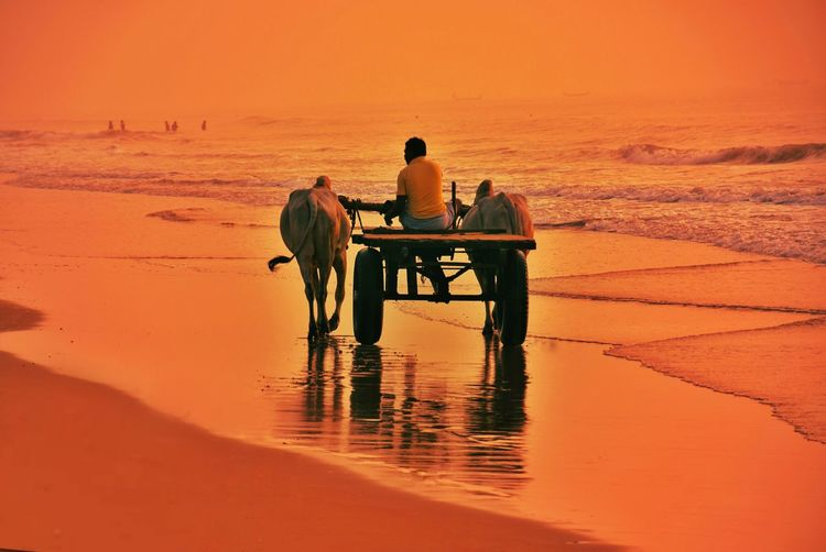 Man riding ox cart at beach