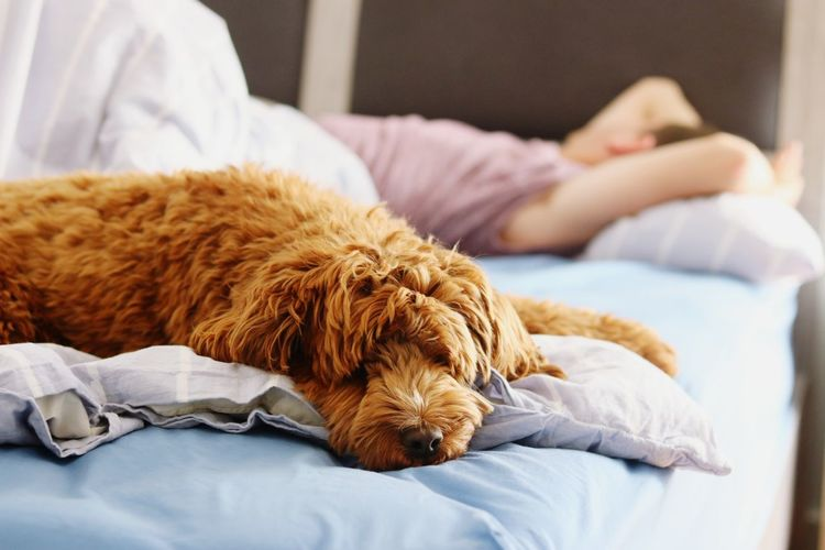 Pets Friendship Bedroom Dog Relaxation Lying Down Bed Sleeping Napping Close-up Puppy Pillow Cozy Bedtime Sheet