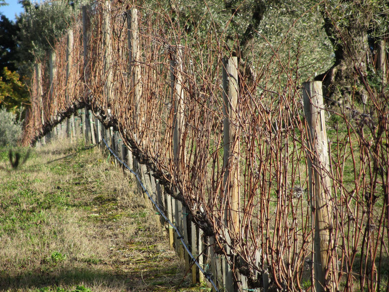 Bare vineyard field in winter . Tuscany, Italy Agriculture Bare Country Farm Field Grass Growth In A Row Plant Rural Tuscany Winter Cold Countryside Dormant Grapes Hill Italy Pruned Season  Stake Stem Vine Vineyard Wine