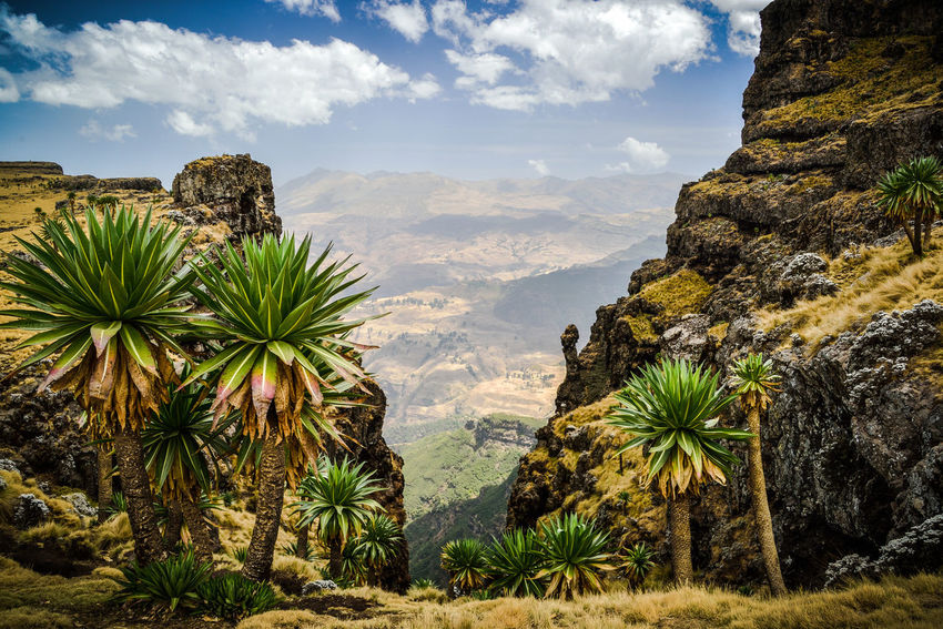 Hochland von Äthiopien im simien mountains national park Lobelia Gigant Lobelia Ethiopia EyeEm Selects Tree Mountain Sky Cloud - Sky Landscape Mountain Range Natural Landmark Canyon Geology Rocky Mountains Rock Formation