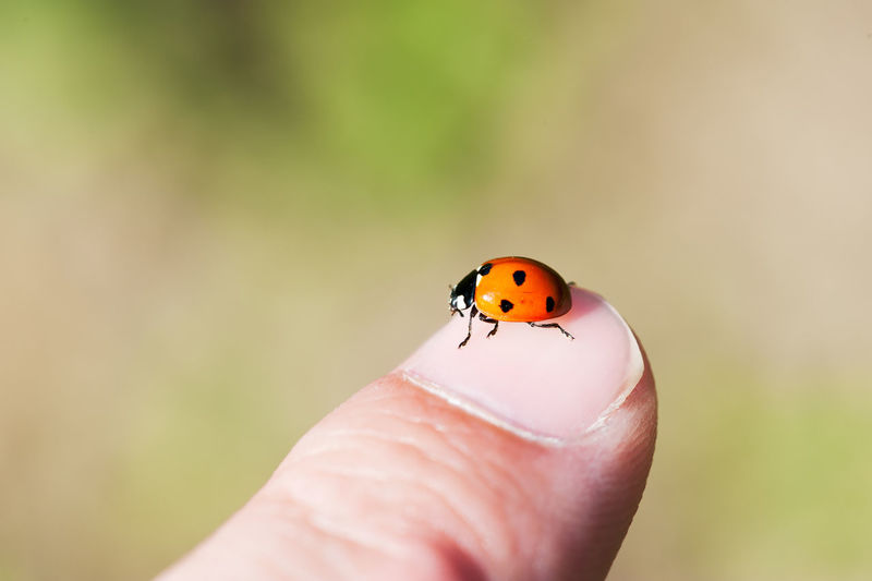 Ladybug on a finger with a green background Animal Themes Animals In The Wild Close-up Focus On Foreground Holding Human Body Part Human Finger Human Hand Insect Ladybug Nature One Animal One Person Outdoors Real People Tiny