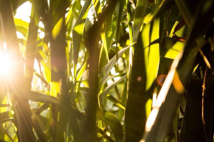 Growth Sunlight Nature Green Color Plant Sun Close-up Outdoors Day No People