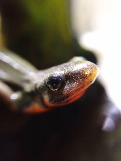 Newt アカハライモリ Japanese Fire Belly Newt 両生類 Amphibian Close-up Close-up