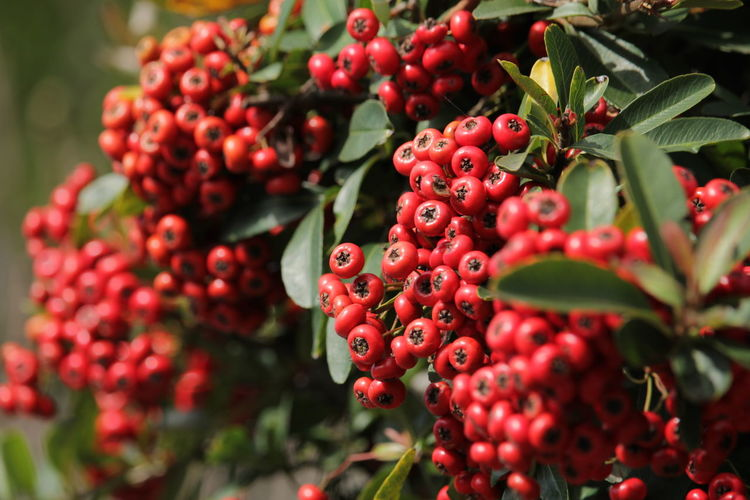 Red Fruit Agriculture Food And Drink No People Plant Nature Social Issues Green Color Growth Outdoors Close-up Day Business Finance And Industry Healthy Eating Leaf Biology Tree Food Beauty In Nature