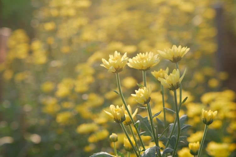 Yellow chrysanthemum in warm light. Garden Chrysanthemum Agriculture Farm Flower Flowering Plant Plant Yellow Beauty In Nature Vulnerability  Fragility Growth Freshness Focus On Foreground Nature Field No People Tranquility Outdoors