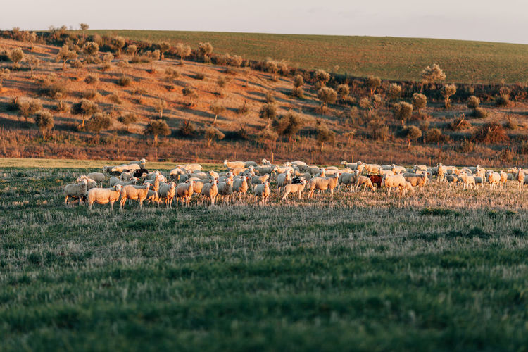 Flock Of Sheep Standing On Grassy Field