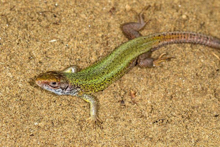 Lizard on a land