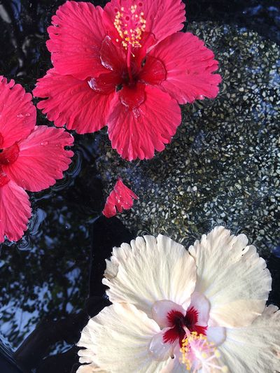 Close-up of fresh pink hibiscus blooming in water