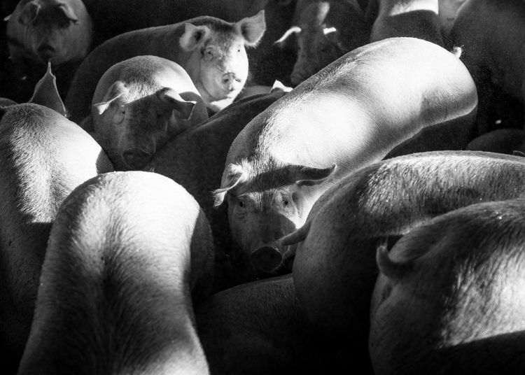 High angle view of pigs