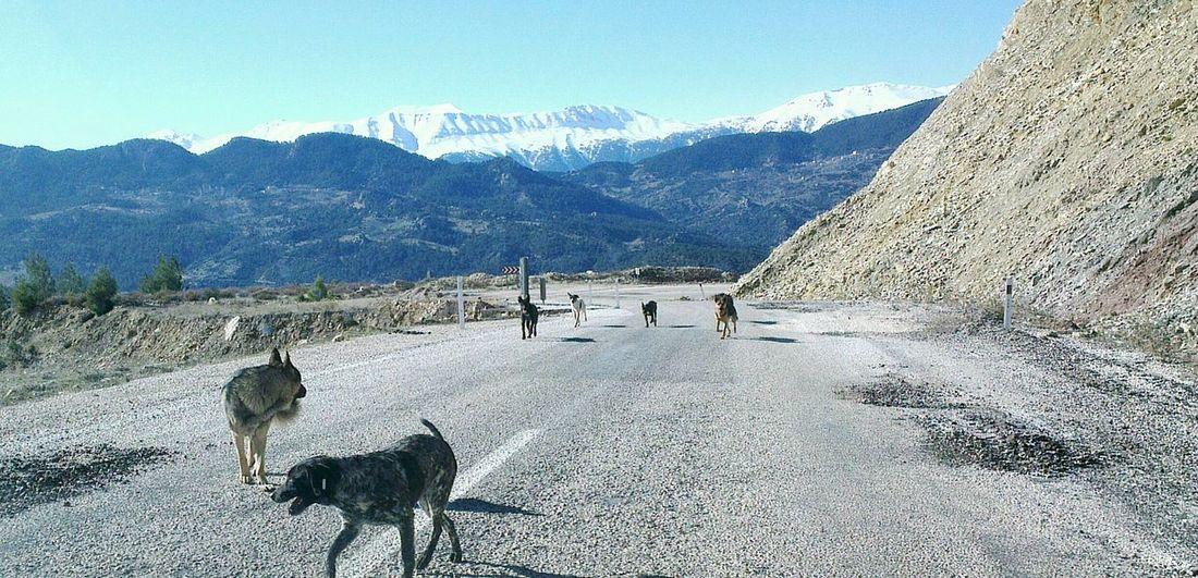 Animal Themes Mountain Mountain Range Dogs Street Dogs Wild Dogs Snow Covered Mountain Turkey Türkei Countryside Non-urban Scene Landscape Road
