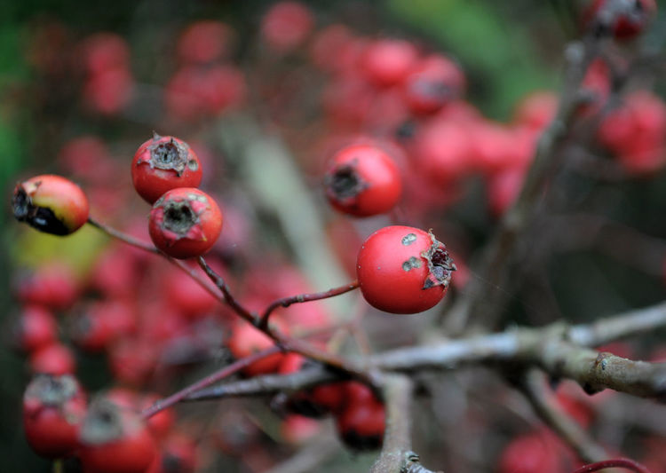Close-up of rose hip rotting on tree