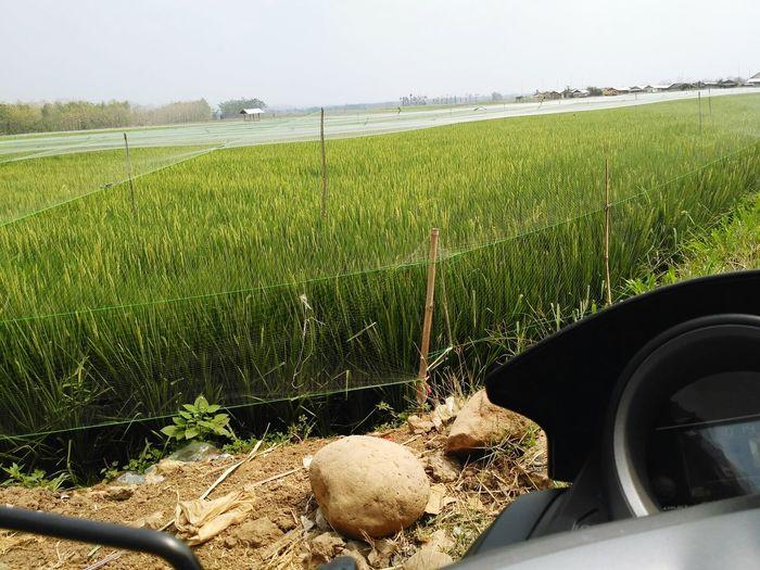Padi Sawah Padi Sawah Padi Water Agriculture Rural Scene Cereal Plant Irrigation Equipment Field Car Sky Farm