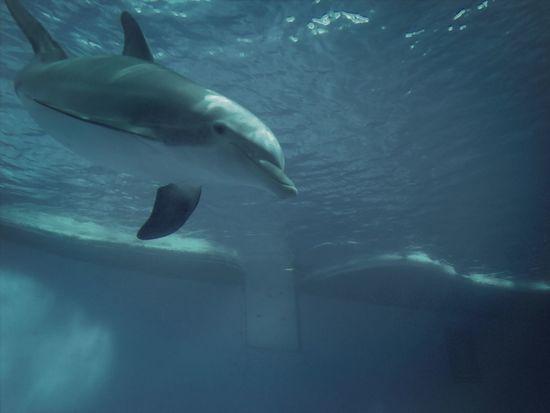 Dolphins Blue Ocean