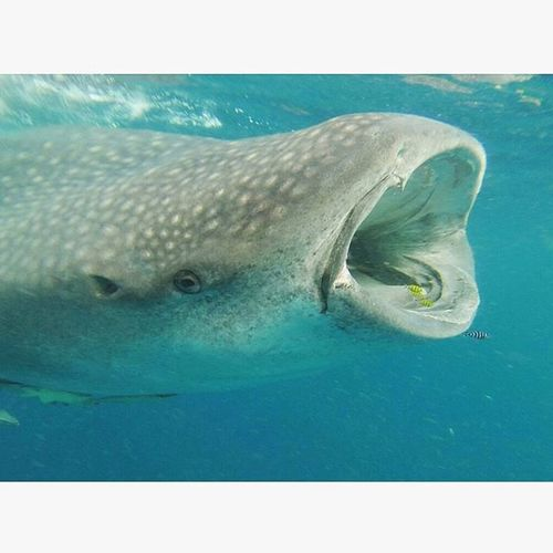 • One of the most epic fish in the sea • Whalesharks Travel Gopro Mafiaisland Tanzania